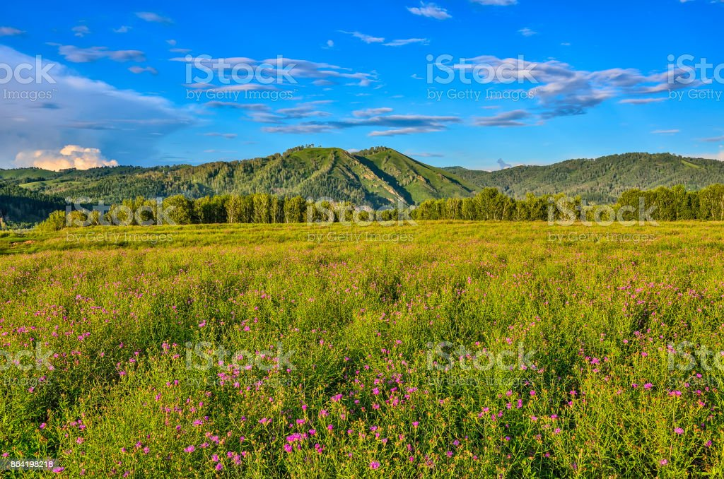 Picturesque mountain sunny landscape of flowering meadow royalty-free stock photo