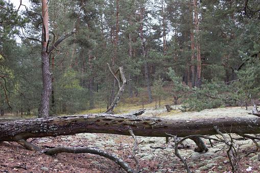 ヴォルィーニの松の森の絵のような古い倒木トランクこの頃第一次世界 ...