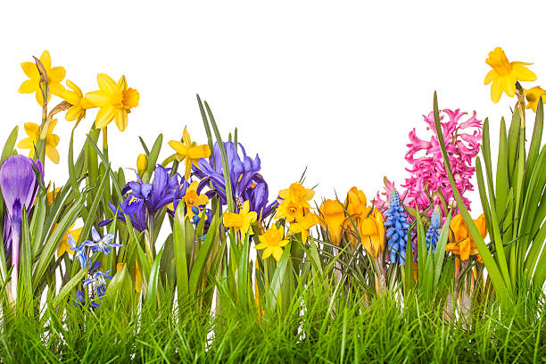 a picturesque spring floral image - iris flower stock photos and pictures