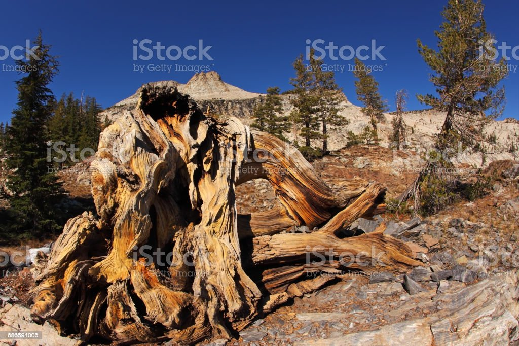 Picturesque stumps and snags royalty-free stock photo
