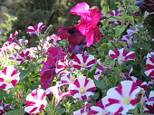 Beautiful flowers to decorate the garden, raspberry violet and white petunias bloom in summer in flower beds, flower beds, contrasting colors create a beautiful composition