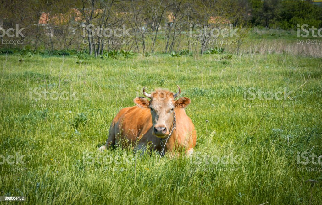 Picturesque village dairy farm. Cow on a green meadow stock photo