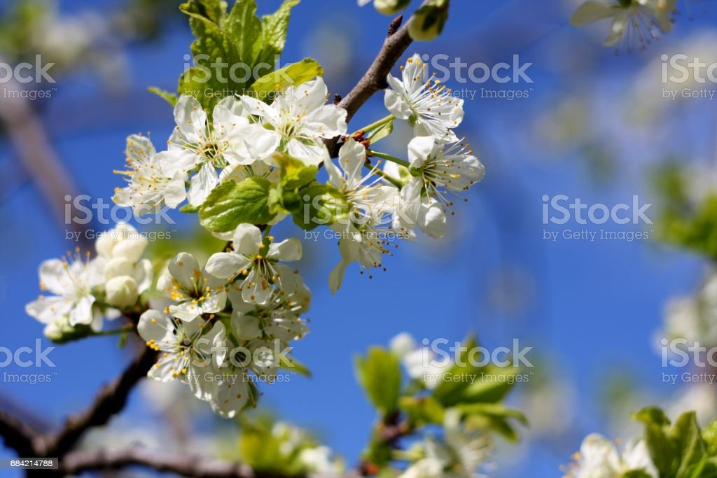 Picturesque white flowers of blooming tree plum. Spring colors royalty-free stock photo