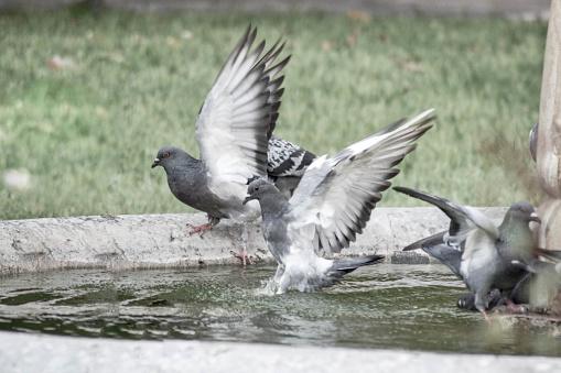 Pidgeons Drinking Water