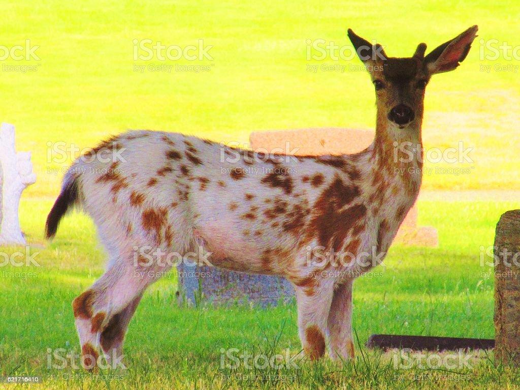 Piebald Deer stock photo