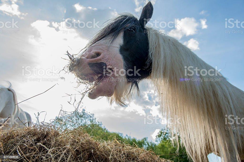 Piebald horses eating hay. stock photo