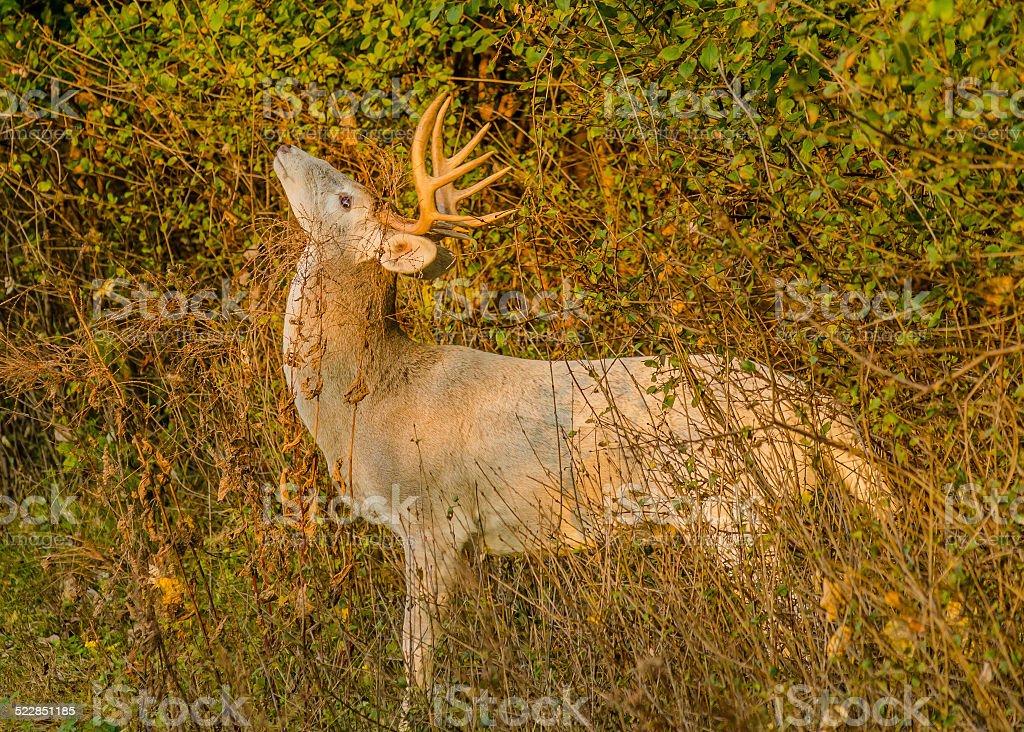 Piebald Whitetail Deer Buck stock photo