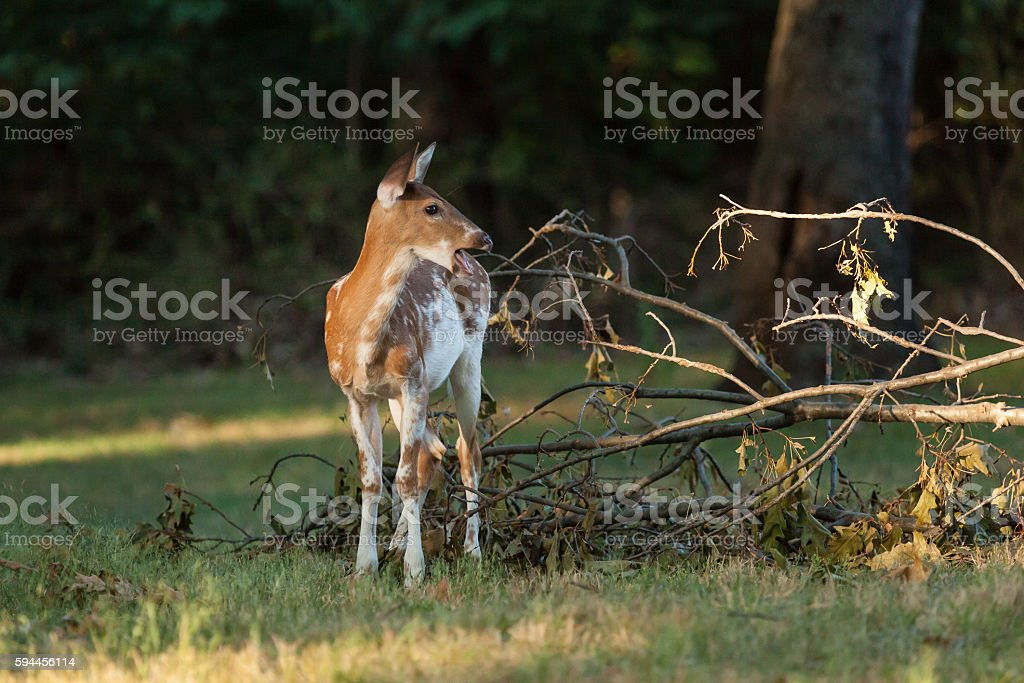 Piebald Whitetail Deer Fawn stock photo