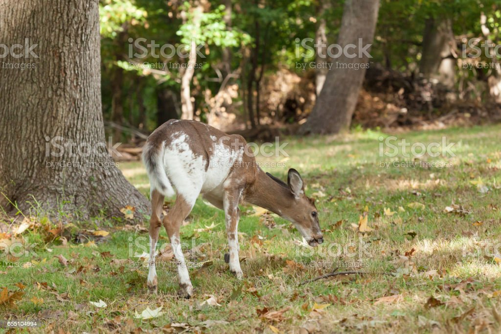 Piebald White-tailed Deer stock photo