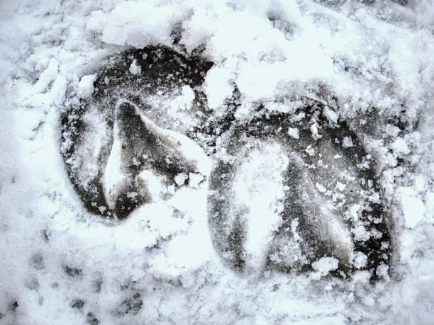 Piece of frozen snowy horse hoof footprint. stock photo