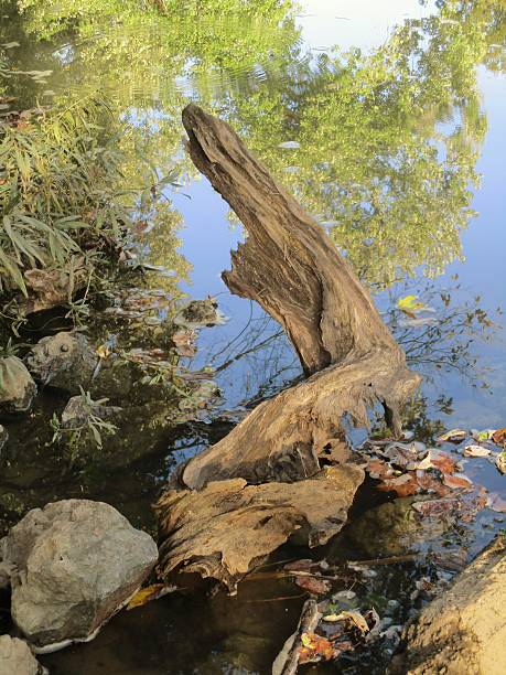 Piece of Picturesque Driftwood in a River in Tennessee stock photo