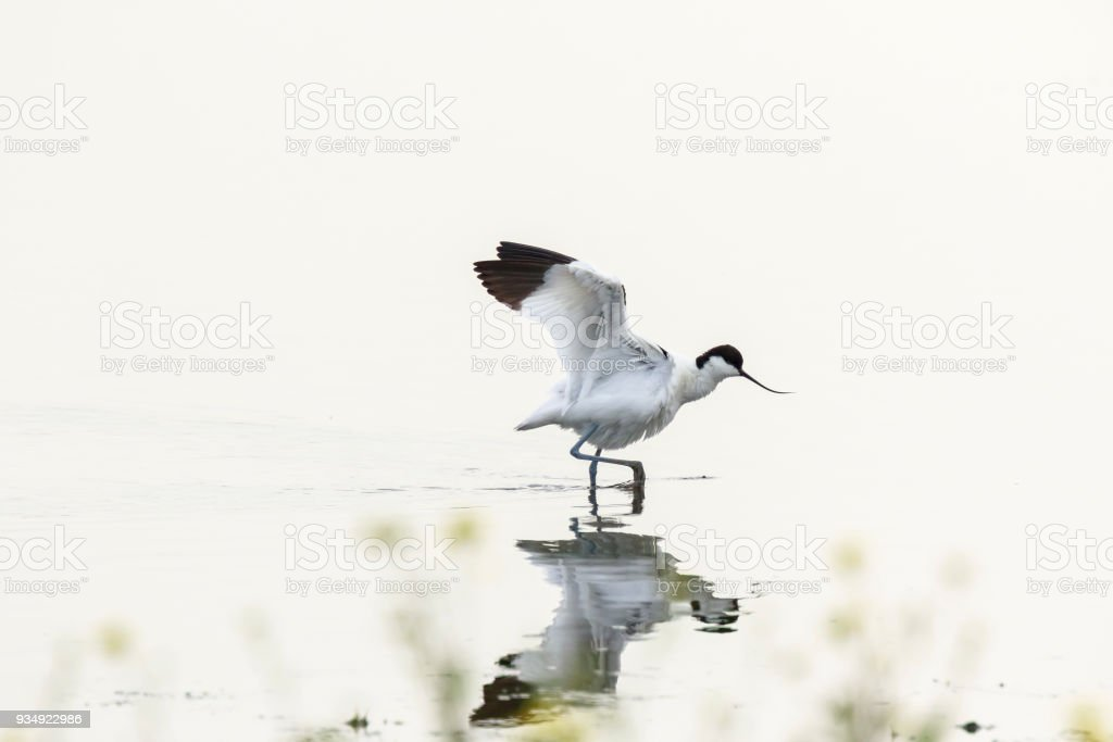 Pied Avocet waterfowl Recurvirostra avosetta walking in water stock photo