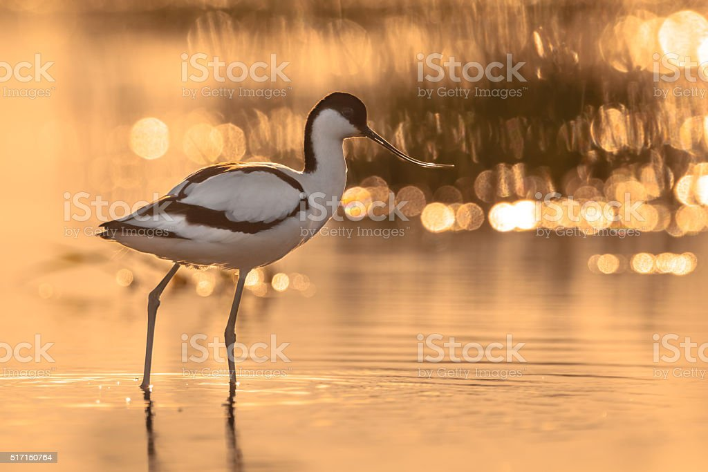 pied avocet with beautiful orange background in the morning sun stock photo