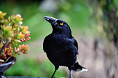 istock Pied Currawong eating 1197052504
