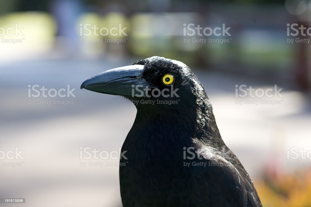 Pied Currawong Sie links ab – Foto