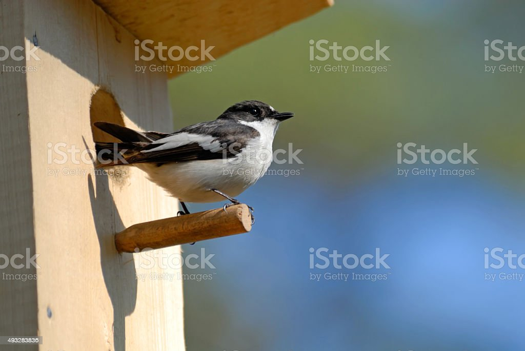Pied flycatcher at the nestling box in spring stock photo