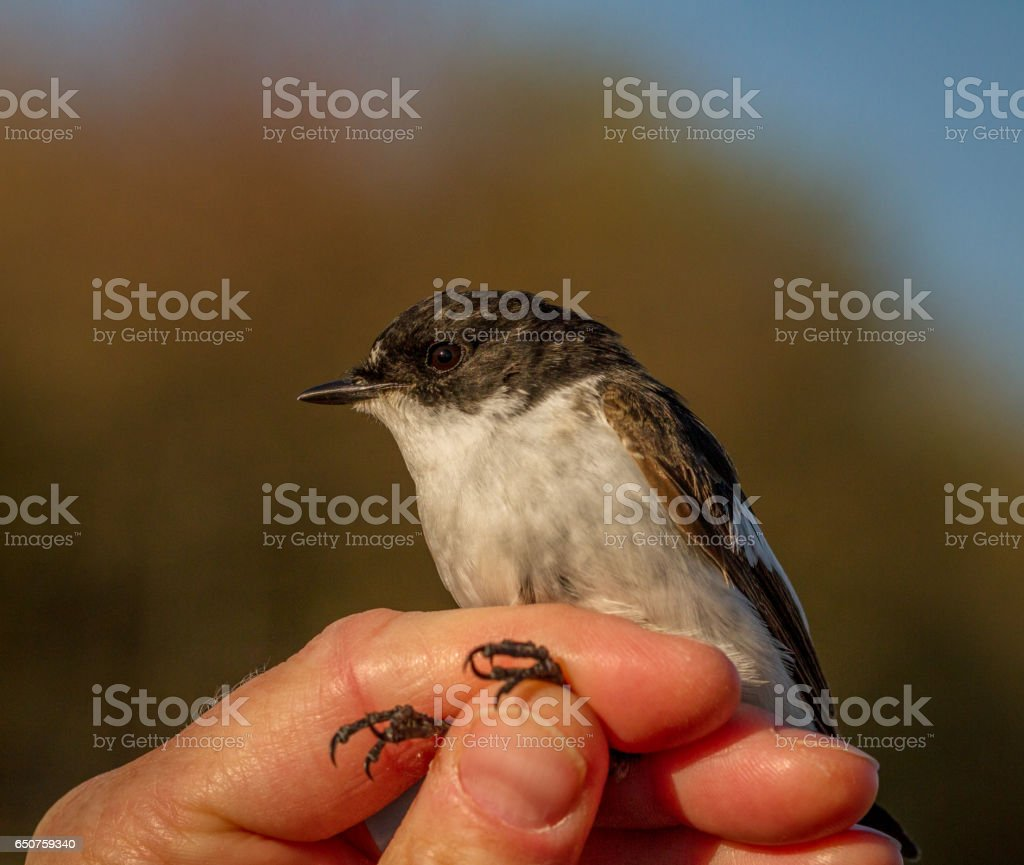 Pied flycatcher, Ficedula hypoleuca, male bird in a womans hand for bird banding stock photo