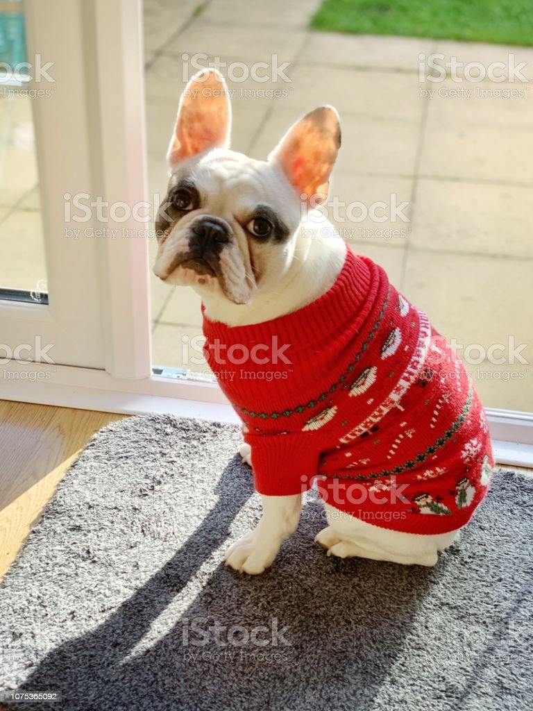 French Bulldog Christmas Jumper.Pied French Bulldog Puppy In Red Knitted Christmas Jumper