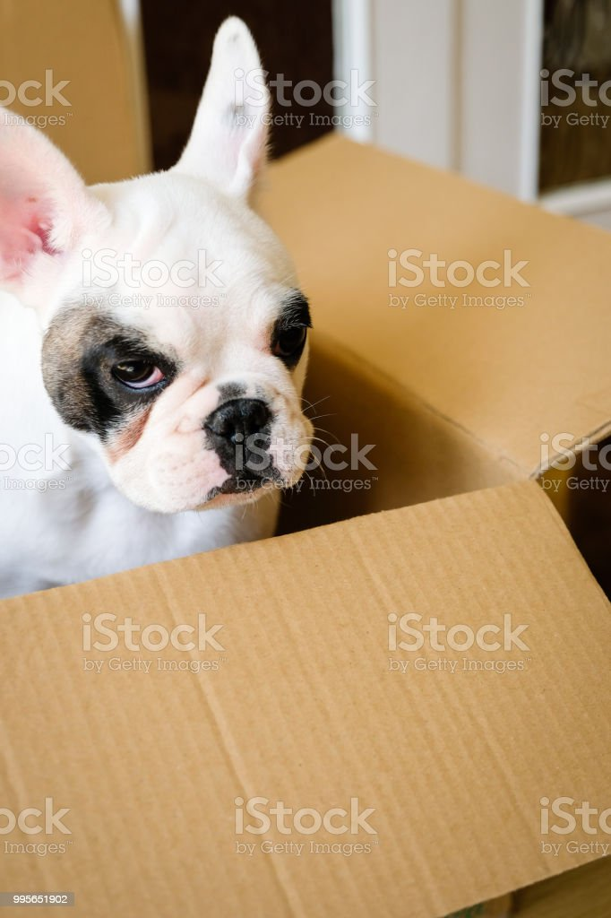 A Pied French Bulldog Puppy Inside A Brown Box Stock Photo