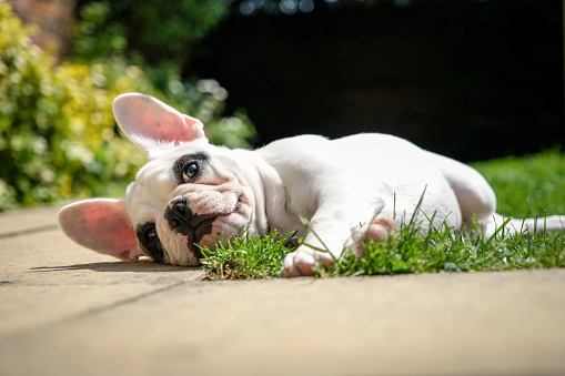 Pied French Bulldog puppy resting in the garden, lying down on the grass in the garden of an English home.