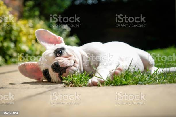 Pied french bulldog puppy resting in the garden lying down on the in picture id984822054?b=1&k=6&m=984822054&s=612x612&h=aiunvzxm5rjg4q0d6k8zisw vro6ojyea3gtqsg2dh4=