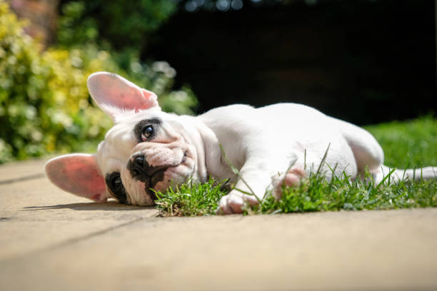 Pied French Bulldog puppy resting in the garden, lying down on the grass in the garden of an English home. 4 months old Frenchie puppy playing in the garden bulldog stock pictures, royalty-free photos & images