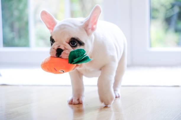 pied französische bulldogge welpen zu fuß mit einer karotte spielzeug in den mund - lustige augenbrauen stock-fotos und bilder