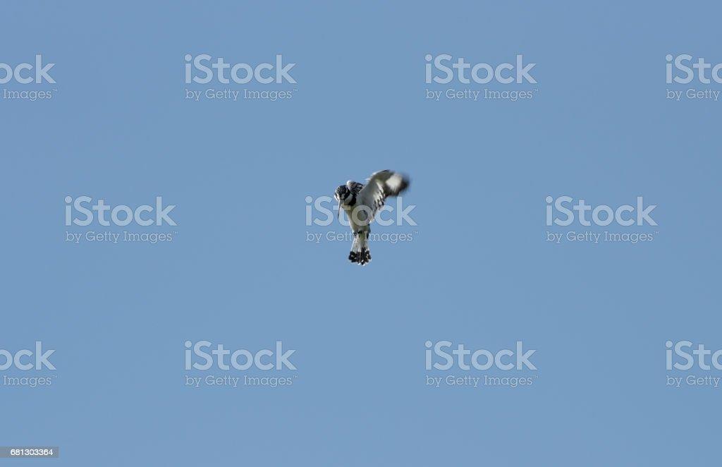 Pied Kingfisher of Rwanda royalty-free stock photo