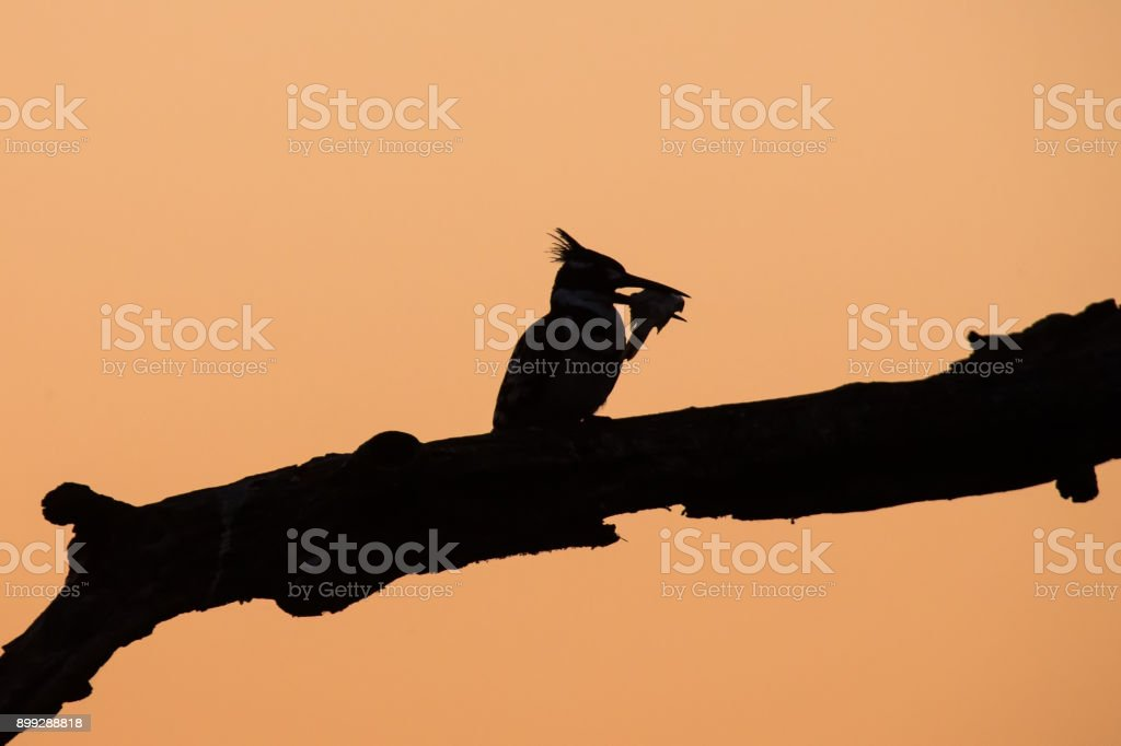 pied kingfisher silhouette killing a fish by hitting it on a branch royalty free stock
