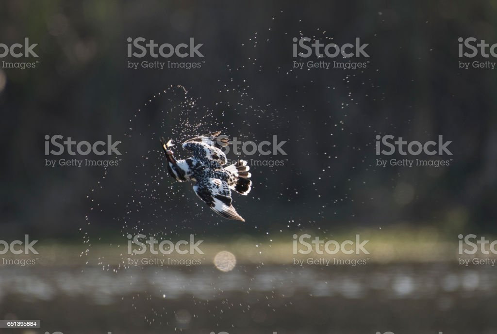 Pied kingifisher with fish stock photo