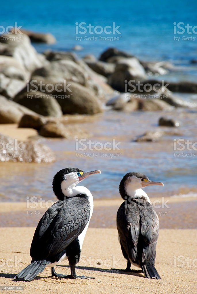 Pied Shags (Phalacrocorax varius) stock photo