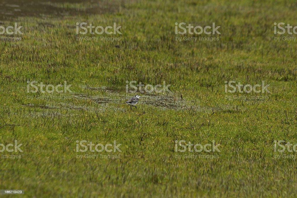 Pied Wagtail ( Motacilla alba )  - Pajaro Lavandera Blanca stock photo