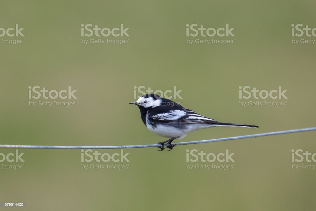 Pied Wagtail perched on a wire fence royalty-free stock photo