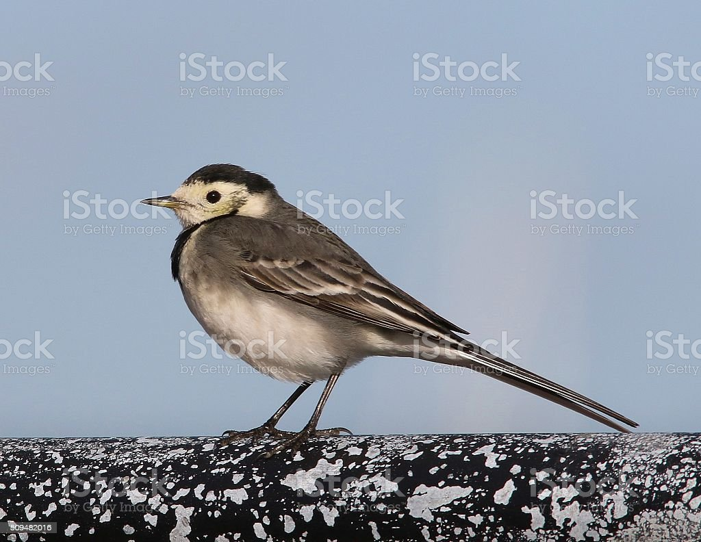 Pied Wagtail stock photo