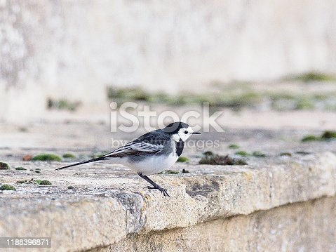 A Pied Wagtail (Motacilla alba) rests on the old stonework of an ancient bridge in Oxfordshire