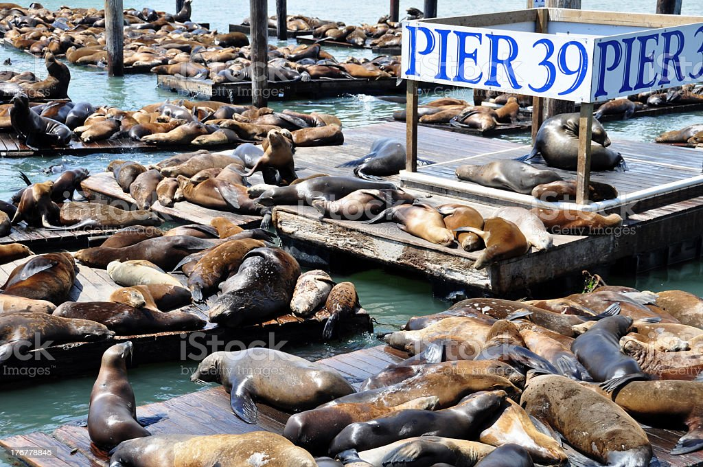 Pier 39 with hundreds of animal bodies on the deck stock photo