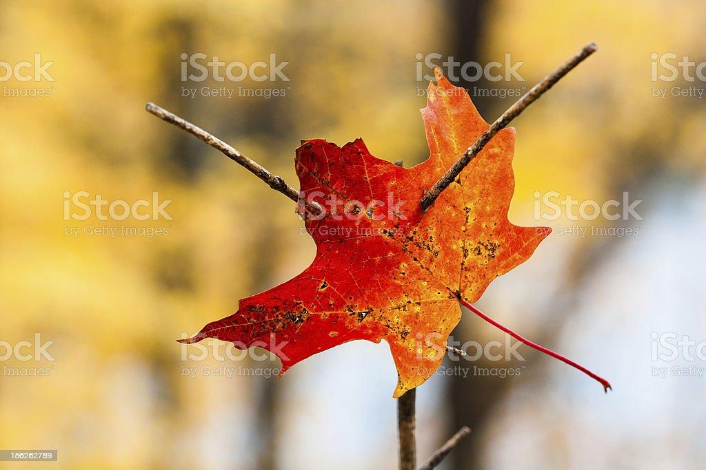 pierced in autumn royalty-free stock photo