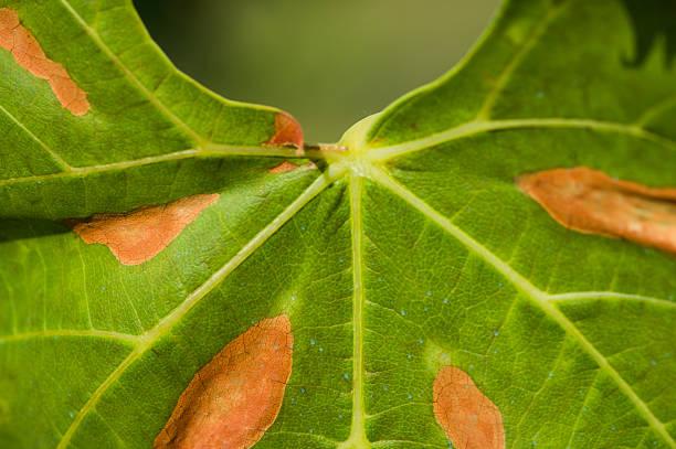 Pierce-Krankheit auf Weintrauben – Foto