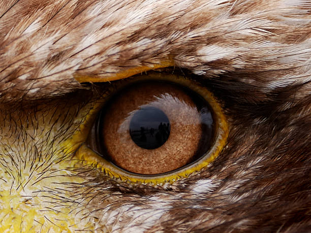 piercing close-up view of brown american eagle eye - animal eye stock pictures, royalty-free photos & images
