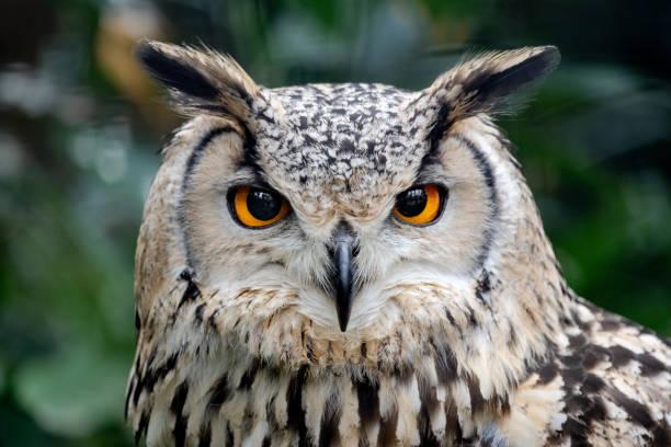 Piercing eyes intense staring of a european eagleowl bubo bubo picture id1073883914?b=1&k=6&m=1073883914&s=612x612&w=0&h=rmrhenfiaxasbtcpy j kx bs447vvznpf1fbeguol8=