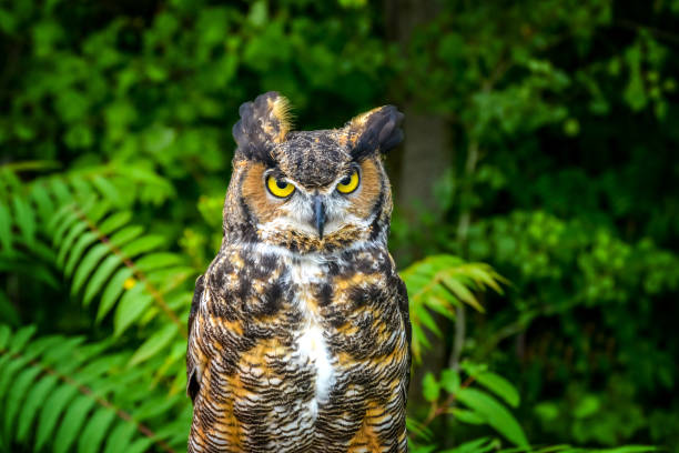A piercing gaze of an eagle owl approaching the forest stock photo
