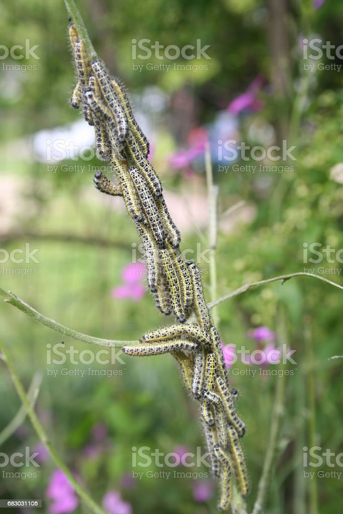 Pieris brassicae caterpillars eating leaf on a plant. Cabbage butterfly. foto de stock royalty-free