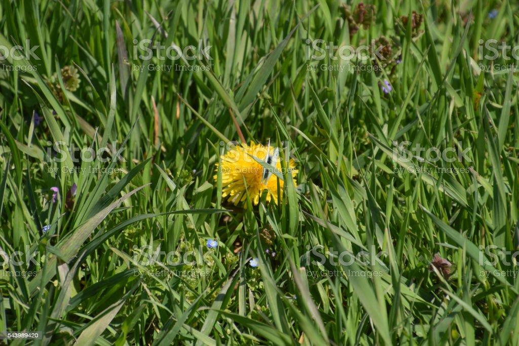 Pieris brassicae on a flower dandelion stock photo