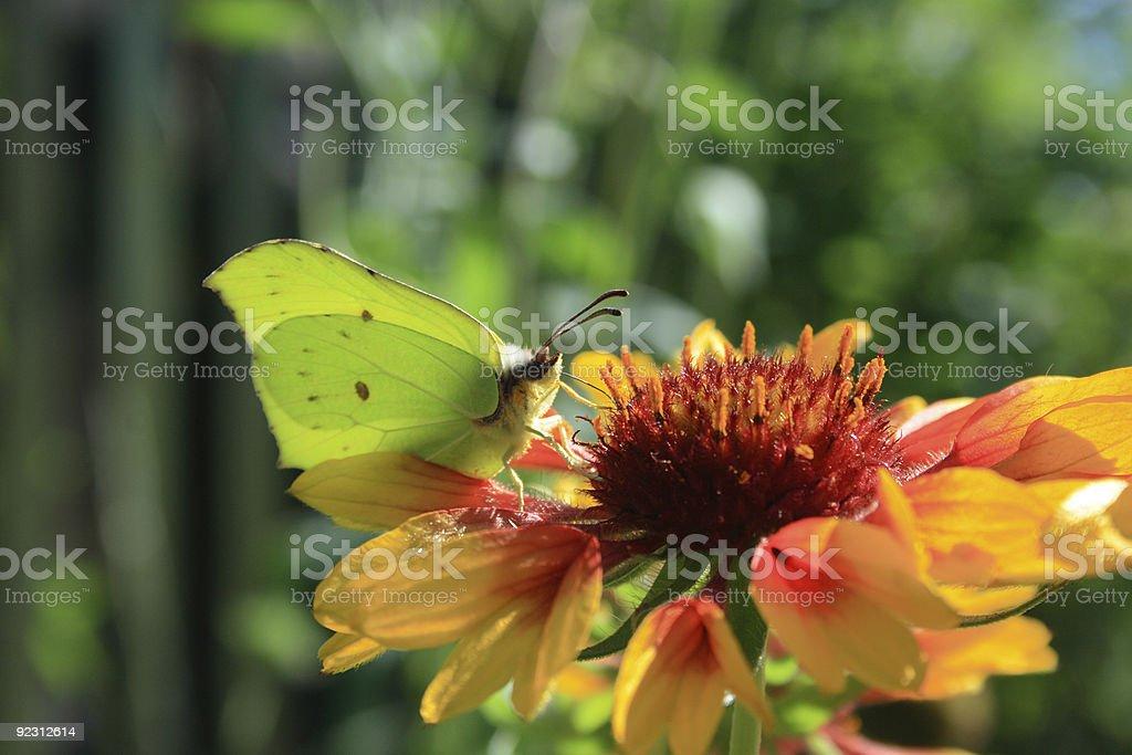 Pieris Brassicae stock photo