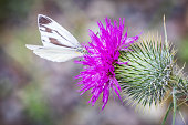 A white feeding on a flowering thistle with dewdrops in Shiretoko National Park and World Heritage Site, Japan; black and white butterfly of the genus Pieris