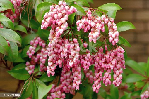 Pieris japonica, also called Japanese andromeda and Japanese pieris, is a broadleaf evergreen shrub, featuring drooping clusters of lily-of-the-valley-like flowers in early spring. Many cultivars are available, featuring flowers in various shades of white, pink and deep rose. The plant is poisonous if consumed by people or animals.