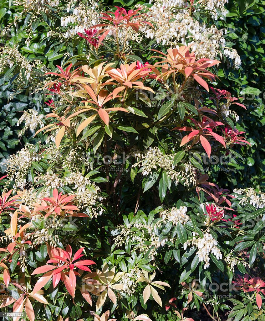 Pieris Japonica With Red Colored Leaves White Flowers In Spring