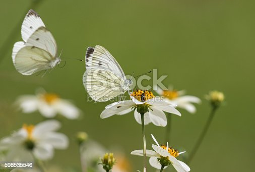 Pieris rapae, the small white. One is flying and one is feeding on the nectar of a daisy.