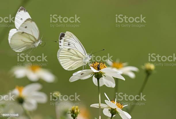 Photo of Pieris rapae, the small white