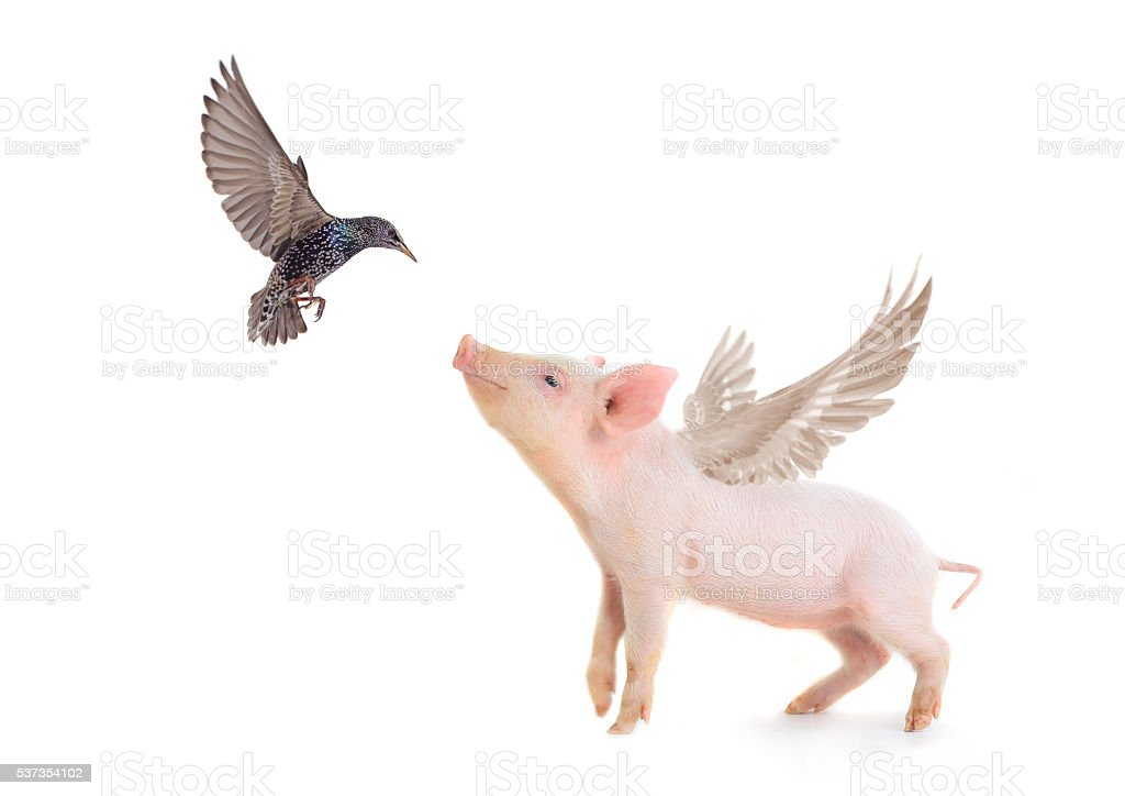 pig and bird stock photo